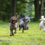 Dogs-Running1-150x150 Outdoor Dangers for Your Dog