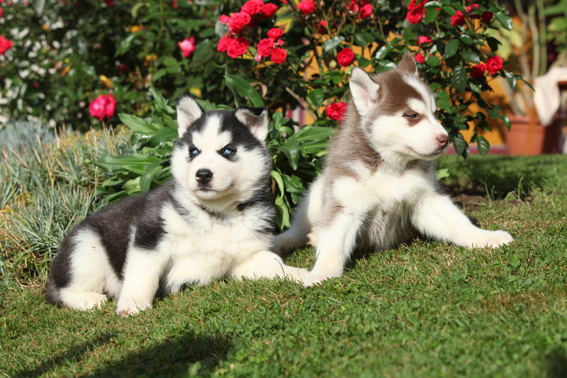 Doggy-Duos Doggy Duos – Tips on Training Two Pups at Once